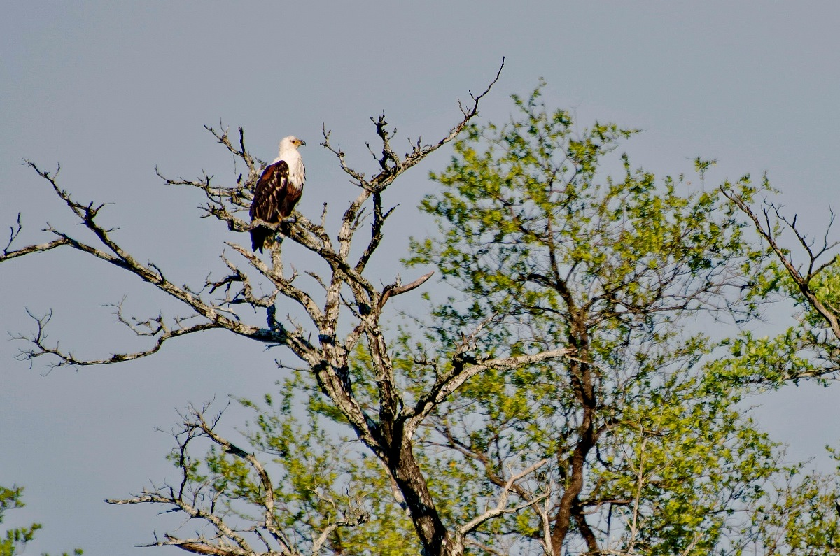 01 African_Fish_Eagle_0818