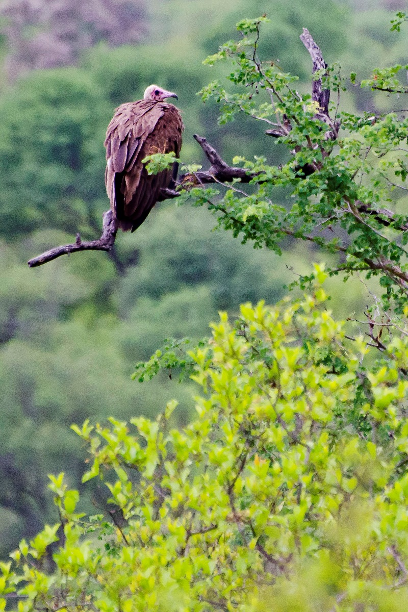 07 Hooded_vulture_0144