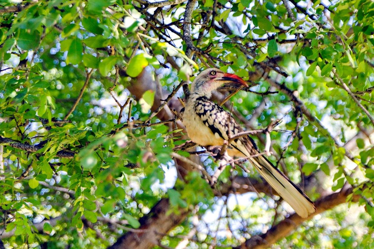 13 Red-billed_Hornbill_0337