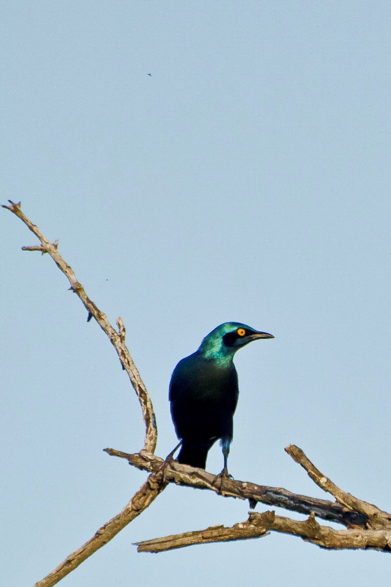 18 Greater_Blue-eared_Starling_0616