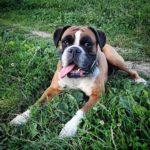 Ah poletni veeri! pippathedog germanboxer