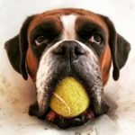 Tenis pippathedog germanboxer tennisball